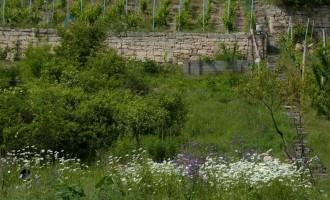 Trockenmauern geben dem Wein...