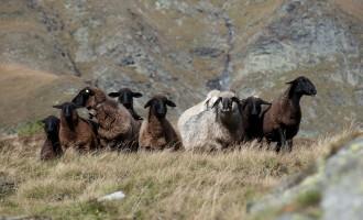 Schafe auf halber Höhe, bereits über der Waldgrenze