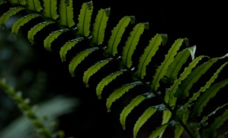 palm-leaf fern