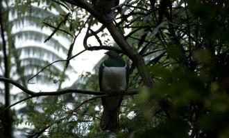 NZ wood pigeon lässt sich nicht aus der Ruhe bringen!