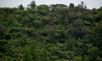Farnbäume geben den Ton an entlang der Westküste