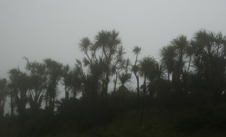 cabbage tree-Silhouette im Nebel