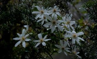 einheimische Clematis, eine der wenigen auffallenden Blütenpflanzen