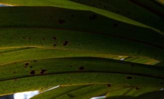 mountain cabbage tree-Blatt