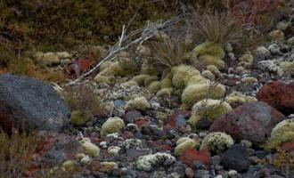 Tongariro Crossing: Bonsai-Idylle am Aufstieg, nahe Mangatepopo Hut