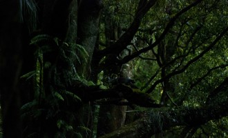 wood pigeon im dichten Unterholz