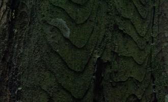 white pine-Rinde
