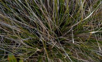 tussock grass im Detail