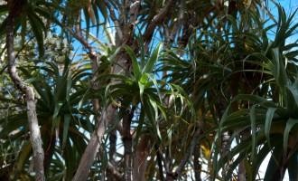 Dracophyllum-grove bei der Cobb hut