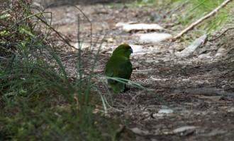 nicht scheu: der parakeet, ein einheimischer Papagei