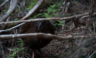 noch weniger scheu: der Weka, ein immerhungriger Verwandter des Kiwi