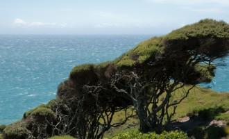 windzerzauste Kanuka-Bäume...auch wir halten uns nur mühevoll aufrecht!