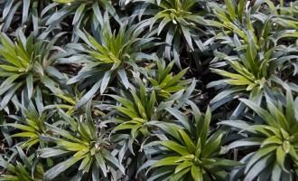 zwischen dem braunen tussock grass auch ein paar Farbtupfer (Asteraceae)
