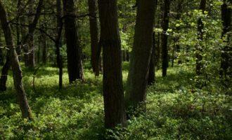 in der Seelensdorfer Heide ist das Heidelbeerparadies (aber erst im Herbst!)