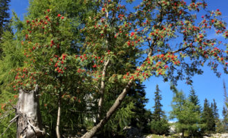 Wunderschöne Vogelbeer-Bäume wachsen rund um die Stadl-Alm (leider sind sie nicht sehr fotogen).