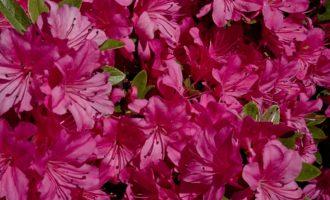 Rhododendron - in allen Farben.....