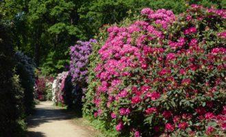 .....im Rhododendron-Garten in Wachwitz