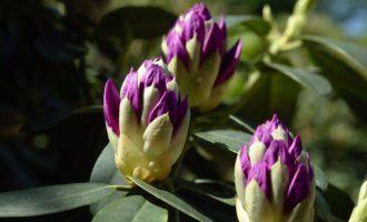 Rhododendron-Knospen