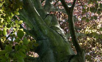 Alte Buchen im Rhododendron-Park