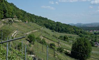 Der Weingarten wird erst seit der Wende wieder bestellt, davor war hier eine Obstplantage