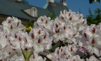 Das hangseitige Palais hinter Rhododendron-Büschen