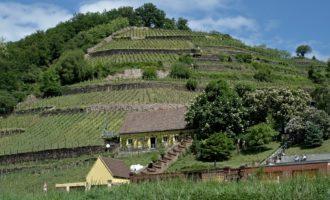 Weingarten-Terrassen bei Bosel kurz vor Meissen