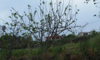 Apfelzucht auf maderensisch - Schneiden ist nicht nötig!?