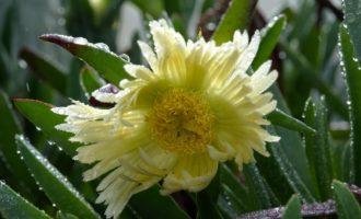 diese Mittagsblume blüht trotz Nieselregen