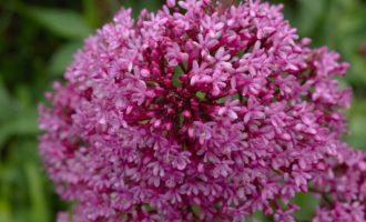 Spornblumen als Farbtupfer entlang der grünen Levada