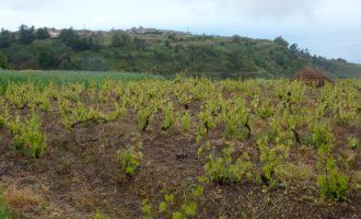 rund um Raposeira wird Weinbau betrieben, die Stöcke sind kaum hüfthoch
