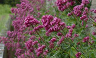Spornblumen gedeihen üppigst am Levada-Rand