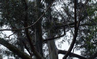 Eukalyptus, auch kein echter Einheimischer!