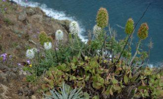 Prächtiger Natternkopf und violette Levkojen, in der Mitte ein Dickblattgewächs: so sieht die ursprüngliche Pflanzenwelt der Küste aus