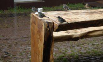Madeira-Buchfinken...