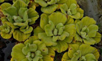 Teich-Pflanzen