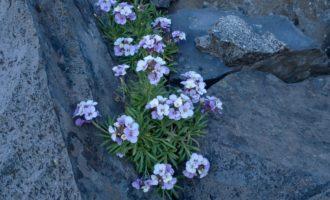 einheimischer Kreuzblütler (Schöterich)