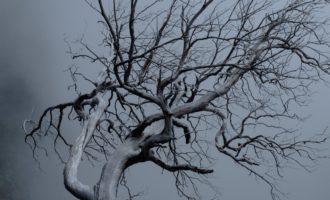 bizarre Skelette der Baumheide