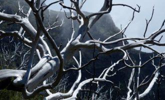 die meterhohe Baumheide fiel dem Grossbrand von 2010 zum Opfer