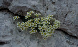 Polsterpflanzen wie Steinbrech finden ihre ökologische Nische im Karst
